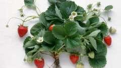 А ви знаєте, коли восени пересаджувати полуницю?