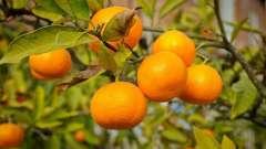 Абхазькі мандарини: сезон збору врожаю. Абхазькі мандарини: відгуки