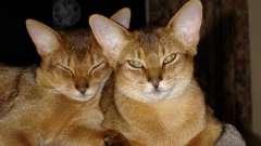 Абиссинская кішка: характер ангела і королеви