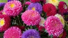Астра - квітка надзвичайної краси