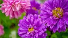 Астра. Посадка і догляд за квітами в саду
