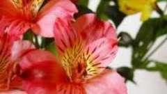 Астрамерія - квіти для вашого будинку й саду