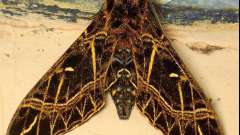 Метелики бражник - вимираюче диво серед комах