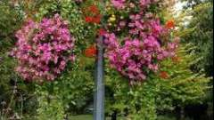 Бакопа - вирощування з насіння для новачків