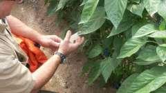 Хвороба перцю - що потрібно знати городникам