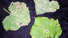 Хвороби огірків - як врятувати урожай?