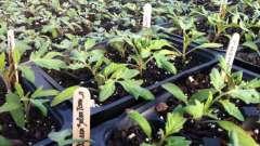Болюче питання для початківців дачників: як правильно пікірувати помідори, щоб їх не загубити і отримати рясний урожай
