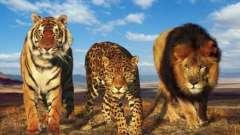 Великі кішки - породи-рекордсмени