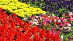 Бордюрні багаторічні квіти - види і коротка характеристика