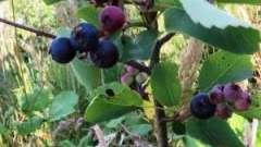 Цілюща ірга-ягода. Корисні властивості і протипоказання