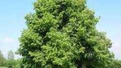 Цілюща дерево липа: квіти і їх корисні властивості