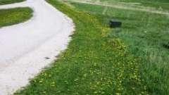 Цілюща рослина кульбаба. Застосування в народній медицині