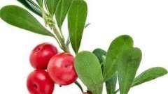 Цілюща рослина - мучниця. Корисні властивості і протипоказання