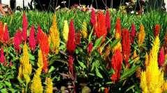Целозія метельчатая - прикраса саду