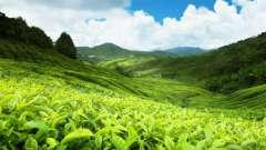 Чайні плантації. Пам`ятки шрі-ланки: чайні плантації