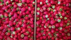 Чим годують полуницю садівники?
