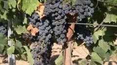 Чим підгодовувати виноград, терміни проведення добрива