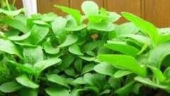 Чим підгодувати петунію, щоб отримати рясне цвітіння?