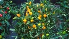 Через скільки днів зійде перець? Скільки сходять насіння перцю? Поради з вирощування перцю
