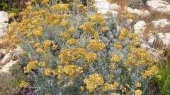 Цмин пісковий: опис рослини, застосування в народній медицині