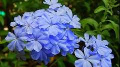 Квітка барвінок: посадка, догляд, використання