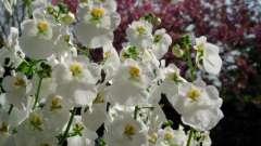 Квітка діасція: вирощування з насіння, розмноження живцями, догляд, цвітіння
