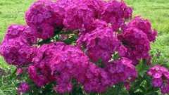 Квітка флокс - невибаглива прикраса ландшафту
