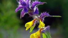 Квітка іван-да-мар`я: рослини в наших лісах