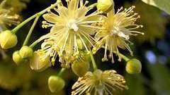Квітка липи: цілющі властивості і способи застосування