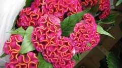 Квіти гребінці - яскрава прикраса клумби
