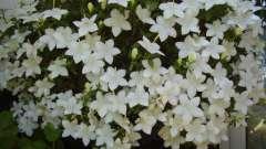 Квіти «наречений і наречена» - вирощування в домашніх умовах