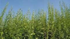 Дикоросла трава амброзія: що це таке і якої шкоди вона може завдати здоров`ю