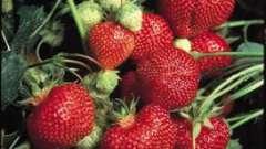 Для чого потрібна осіння обробка полуниці?
