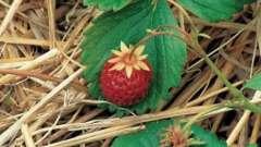 До весни не будити: як укрити полуницю на зиму