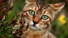 Домашня леопардова кішка - втілення грації і витонченості