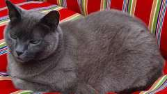 Домашня порода кішок блакитна російська
