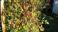 Фузаріозне в`янення томатів - хвороба, яку легше попередити, ніж лікувати