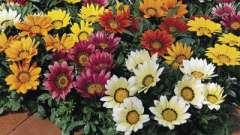 Гацанія-квітка - вирощування і догляд