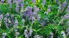 Галега (трава): лікувальні властивості, протипоказання, рецепти