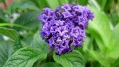 Геліотроп - квіти з ароматом вишневого пирога