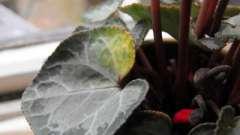 Загибель рослини, або чому у цикламена жовтіють листя?