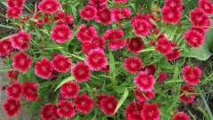 Гвоздика периста: вирощування з насіння в домашніх умовах