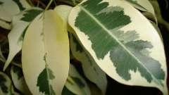 Енциклопедія кімнатних рослин: фікус бенджаміна - догляд в домашніх умовах