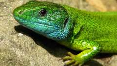 Як і чим годувати ящірку в домашніх умовах