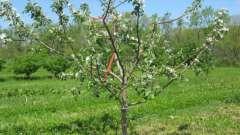 Як і коли садити саджанці плодових дерев навесні?
