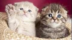 Як визначити породу кішок: поради професіоналів