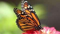 Як харчуються метелики: що їдять в дикій природі і в домашніх умовах?