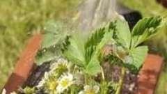 Як поливати полуницю під час цвітіння, щоб домогтися гарного врожаю