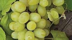 Як посадити виноград восени - підготовка саджанця і етапи посадки