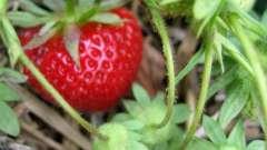 Як розсадити полуницю і бути завжди з врожаєм?